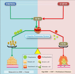 [Cell Death Differ] Deubiquitinase USP39 and E3 ligase TRIM26 balance the level of ZEB1 ubiquitination and thereby determine the progression of hepatocellular carcinoma